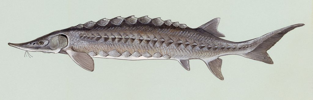 Jesiotr. [Duane Raver/U.S. Fish and Wildlife Service - fws.gov]